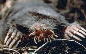 Sternmull (Condylura cristata)
