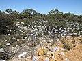 Conospermum crassinervium (25081098177).jpg