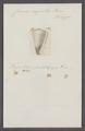 Conus aegrotus - - Print - Iconographia Zoologica - Special Collections University of Amsterdam - UBAINV0274 086 09 0009.tif