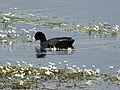 Coot and water crowfoot, River Avon - geograph.org.uk - 885778.jpg