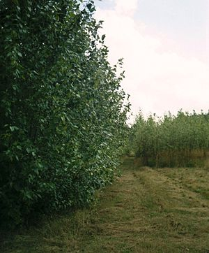 Short rotation coppice - A field of coppiced poplar in Hampshire