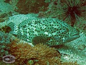 Epinephelus corallicola - Image: Coral grouper (Epinephelus corallicola)