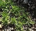 Coronopus didymum plant (07).jpg