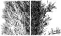 Cortaderia selloana HC-1950.png