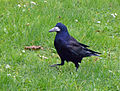 Corvus frugilegus, Rook, Saatkrähe 01.JPG