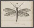 Corydalis - Print - Iconographia Zoologica - Special Collections University of Amsterdam - UBAINV0274 064 02 0009.tif