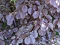 Corylus maxima 'Purpurea' a1.jpg