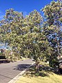 Corymbia street tree.jpg