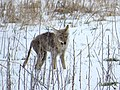 Coyote Eating a Rodent, Photo 2 of 3 (26440312281).jpg
