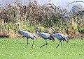 Cranes in Brandenburg (15508451527).jpg