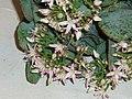 Crassula arborescens undulatifoliata (Mill.) Willd. (AM AK291180-1).jpg