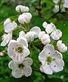 Crataegus pedicellata Blüte.jpg