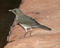 Creamy-bellied Thrush, Turdus amaurochalinus - Flickr - Lip Kee.jpg