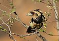 Crested Barbet, Trachyphonus vaillantii, at Walter Sisulu National Botanical Garden, Gauteng, South Africa (29416367852).jpg