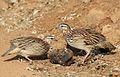 Crested Francolin, Dendroperdix sephaena, feeding in dung at Pilanesberg National Park, Northwest Province, South Africa (29776713531).jpg