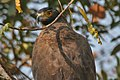 Crested Serpent Eagle (Spilornis cheela) in Kinnarsani WS, AP W3 IMG 5884.jpg