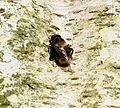 Criorhina ranunculi (male) - Flickr - S. Rae (4).jpg