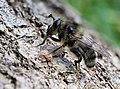 Criorhina ranunculi var. hispanica ♂, Serra de Malcata near Penamacor, Portugal (49526659283).jpg