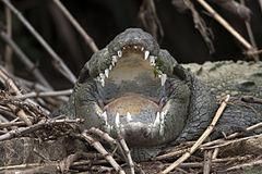 240px crocodylus palustris (2005)