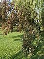 Crop. Summer. - Szentkúti Sq., Jászberény.JPG
