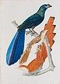Crotophaga major - Coccyzus vetulus - Coccyzus cayannus, da Coleção Brasiliana Iconográfica.jpg