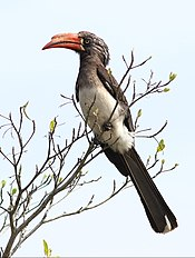 Crowned hornbill, KwaZulu-Natal, South Africa .jpg