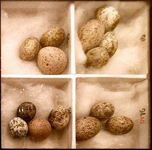 photo of box of cuckoo and reed warbler eggs