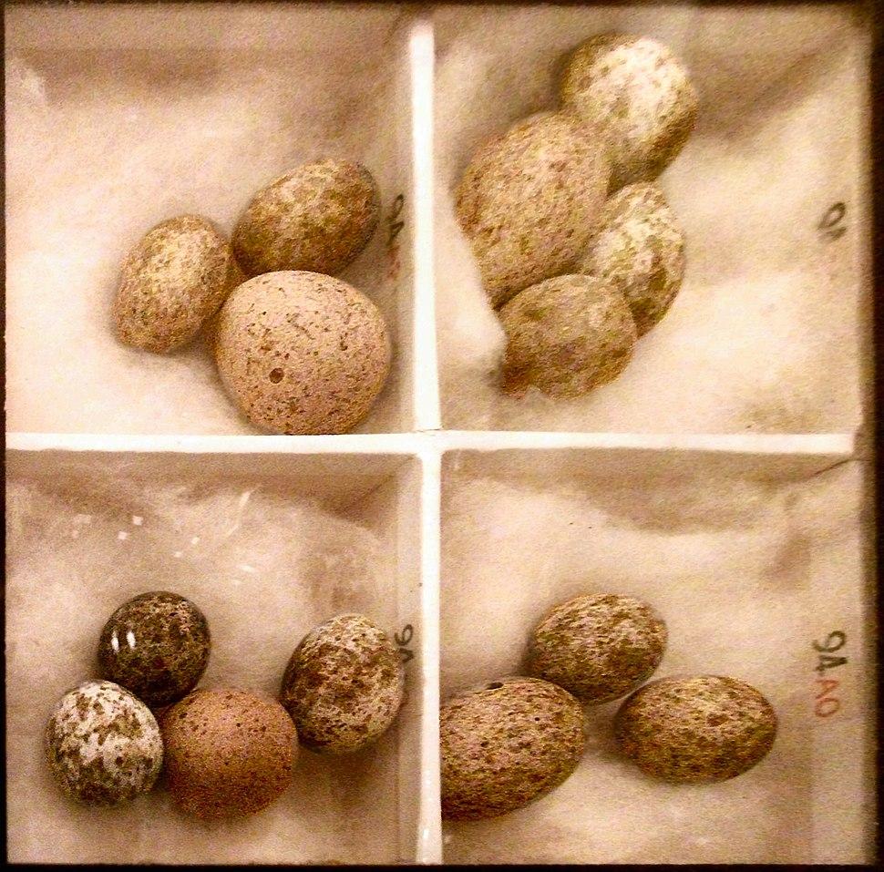 Cuckoo Eggs Mimicking Reed Warbler Eggs