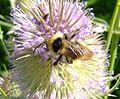 Cuckoo bumblebee (Bombus campestris?), Willington, Bedfordshire (7692639880).jpg