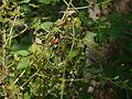 Cucumis maderaspatanus (8105870745).jpg