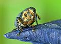 Curculionidae 01 (MK)-crop.jpg