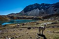 Curious llama on the Ausangate circult 26529224022.jpg