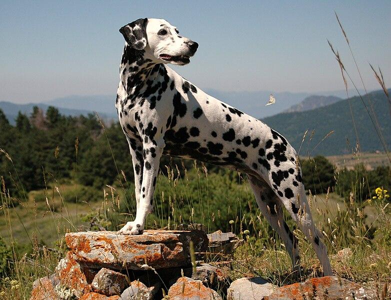 Perro de raza dálmata.