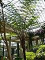 Cyanthea cooperi 2.jpg