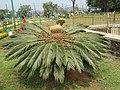Cycas revoluta - Sago Palm at Madikeri (2).jpg