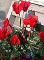 Cyclamen persicum1.jpg