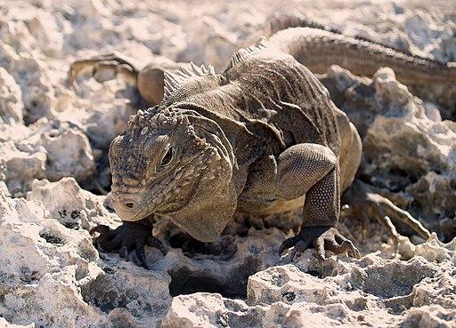 iguana caribeña del cuerno