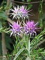 Cynara baetica maroccana (9391049607).jpg
