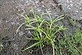 Cyperus eragrostis kz01.jpg