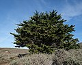 Cypress Tree, Point Lobos State Natural Reserve 1 18 19 (46785268762).jpg