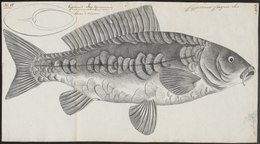 Cyprinus carpio - 1774-1804 - Print - Iconographia Zoologica - Special Collections University of Amsterdam - UBA01 IZ15000035.tif