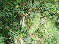 Cytisus arboreus baeticus 5.JPG