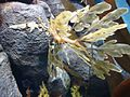 DSC28136, Leafy Sea Dragon, Monterey Bay Aquarium, Monterey, California, USA (8542033585).jpg