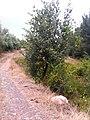 Dağ armudu - panoramio (1).jpg