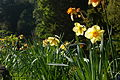 Daffodils at Bonchurch Village Road pond.JPG