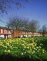 Daffodils in Rosebery Park, Moss Side.jpg
