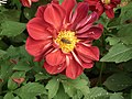 Dahlia from lalbagh 1962.JPG
