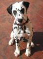 Dalmatian puppy.png