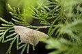 Danala lilacina (29690497174).jpg
