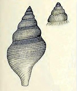 <i>Daphnella stiphra</i> Species of gastropod